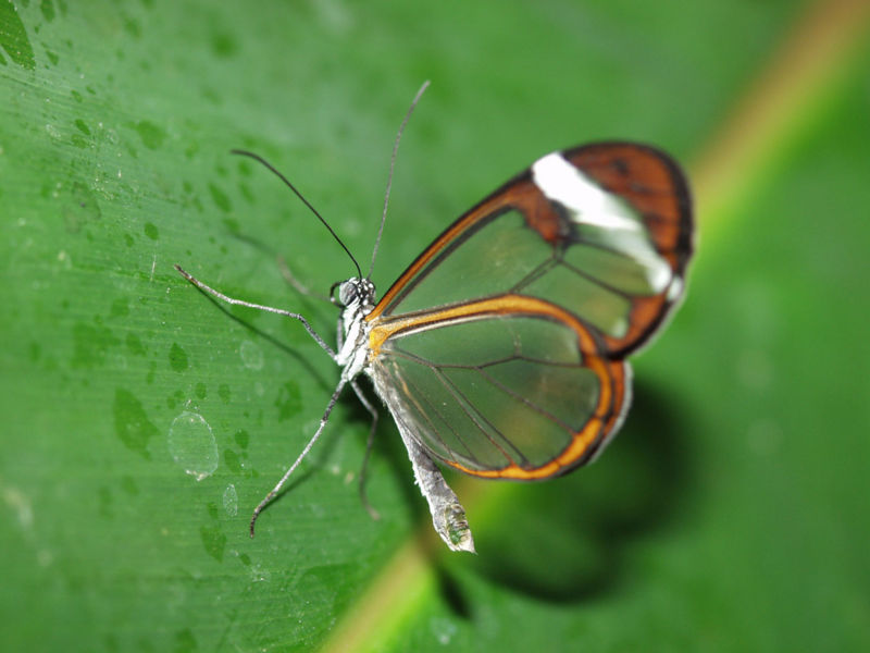 File:ButterflyGlasswing.jpg